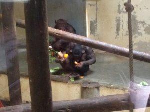 Chimpanzee, Lisbon Zoo
