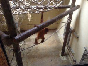Orangutan, Lisbon Zoo, Portugal