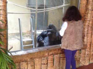 Gorilla, Lisbon Zoo