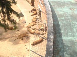 Lions, Lisbon Zoo, Portugal