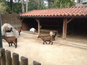 Goats, Lisbon Zoo