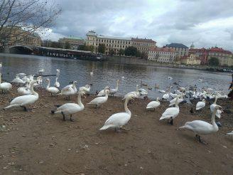 Swans at Vltava river, Prague, Euro Trip from India
